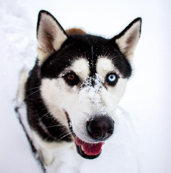 husky im yukon