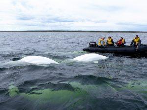 zodiac tour beluga-wale