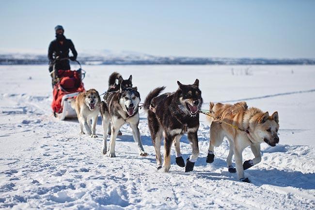 hundeschlittenrennen yukon